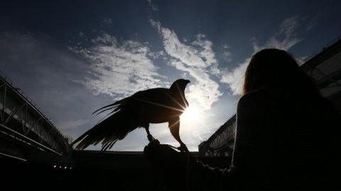 Diều hâu Rufus: Kẻ canh gác bầu trời của Wimbledon